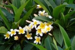 Frangipan Baum
