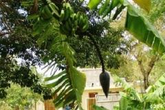 Bananen Baum