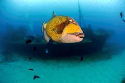 drueckerfisch am Wrack